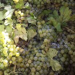 Viennese grapes