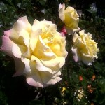 Yellow Roses in Vienna's Volksgarten