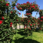Red rose bush in Volksgarten in June